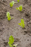 Lettuce growing in the soil Royalty Free Stock Photos