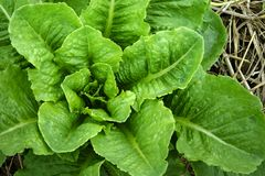 Lettuce growing in the soil Stock Images