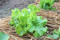 Lettuce growing in the soil Stock Photos