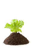 Lettuce growing from soil Royalty Free Stock Photo
