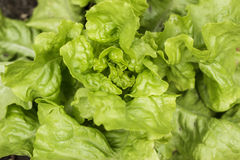 Lettuce growing in the soil Royalty Free Stock Images