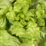Lettuce growing in the soil Royalty Free Stock Photography