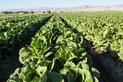 Lettuce Grows in Rows on Southern California Agricultural Farm Stock Photography