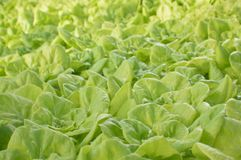 lettuce harvest Royalty Free Stock Images