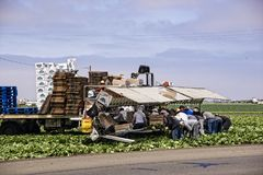 Lettuce Harvest Workers Stock Images