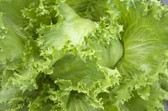 Lettuce head macro. Close-up chot of lettuce leaves (head for this cultivar Royalty Free Stock Photo