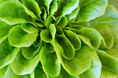 Lettuce head macro Royalty Free Stock Photography