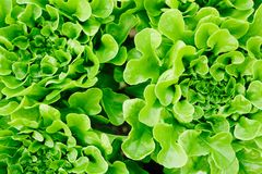 Lettuce heads. Overview of green lettuce heads that can be used as background Stock Images
