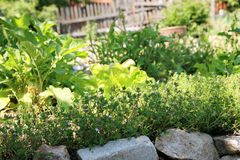 Lettuce and herb plants in home garden. Stock Photos