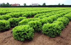 Lettuce in the huge agricultural field stock image