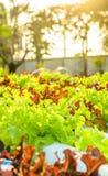 Lettuce hydroponic Stock Photos