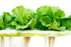 Lettuce hydroponic. And root isolate background Royalty Free Stock Photography