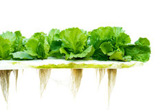 Lettuce hydroponic Royalty Free Stock Photography