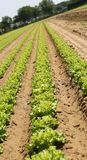 Lettuce with inclination desired by the photographer to give a s. Long rows of green ripe lettuce in the Po Valley in Italy with inclination desired by the Stock Photos