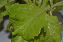 Lettuce. After irrigation water in the garden Royalty Free Stock Image