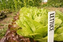 Lettuce label A Stock Photos