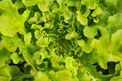 Lettuce. (Lactuca sativa) is an annual plant of the aster or sunflower family Asteraceae. It is most often grown as a leaf vegetable, but sometimes for its stem Stock Photo