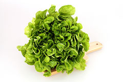 Lettuce (Lactuca sativa) Stock Images