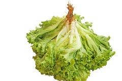 Lettuce,Lactuca sativa stock image