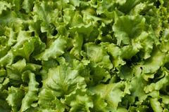 Lettuce (Lactuca sativa) Stock Image