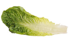 Lettuce Leaf. Photograph of a lettuce leaf has clipping lines Royalty Free Stock Image