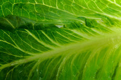 Lettuce Leaf Close-up Royalty Free Stock Photo