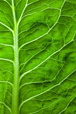 Lettuce leaf. Healthy image of a green lettuce leaf Stock Photo