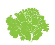 Lettuce. Leaf Salad. Vector illustration EPS Royalty Free Stock Image