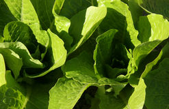 Lettuce leaves Royalty Free Stock Photos