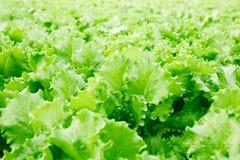Lettuce leaves. Background of fresh green lettuce leaves on plantation of farm Stock Photos