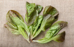Lettuce leaves bunch Stock Images