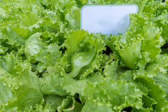 Lettuce leaves, close up. Copy space. Fresh lettuce leaves, close up. Copy space Royalty Free Stock Image