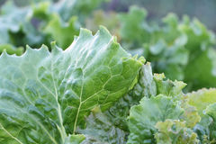 Lettuce leaves  in a garden Stock Image