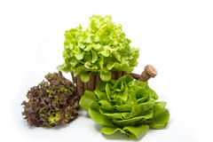 Lettuce leaves. For healthy eating Royalty Free Stock Images