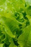 Lettuce leaves Stock Images