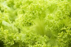 Lettuce leaves macro Royalty Free Stock Photography