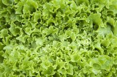 Lettuce leaves macro. Close-up chot of lettuce leaves, the curly edge macro Stock Photography