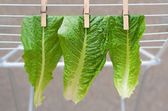 Pinned lettuce leaves Royalty Free Stock Photo