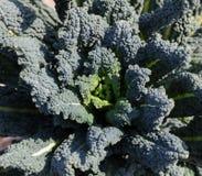 Lettuce leaves Stock Image