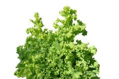 Lettuce leaves on a white backgroun Stock Photos