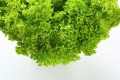 Lettuce Lollo Bionda Stock Photography