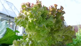 Lettuce Lollo Rossa grow in the garden in the backyard. Lettuce Lactuca sativa Lollo Rossa grow in the garden in the backyard next to the greenhouse and cabbage stock video footage