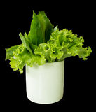 Lettuce and long coriander leaves in a glass. On isolated back background Royalty Free Stock Image