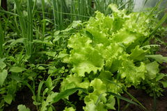 Lettuce and onions. Growing in private greenhouse Stock Photos