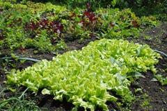Lettuce and orache Stock Photo