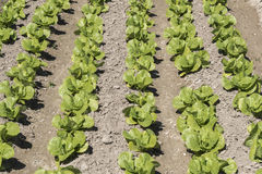 Lettuce in the orchard Royalty Free Stock Photos