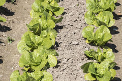 Lettuce in the orchard Stock Images
