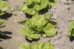 Lettuce in the orchard Royalty Free Stock Images