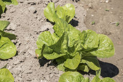 Lettuce in the orchard Stock Photos