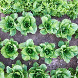 Lettuce organic cultivation Royalty Free Stock Photos